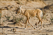 A juvenile of Arabian Oryx (Oryx leucoryx). The Arabian oryx is a large white antelope, Almost totally extinct in the wild several groups have since been reintroduced to the wild. Photographed in Israel, Aravah desert,