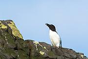 Razorbill seabird, Alca torda, coastal bird with razor beak on rocks on Isle of Canna part of the Inner Hebrides and Western Isles in West Coast of Scotland