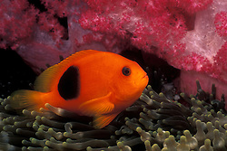 A Red Saddleback Anemonefish, Amphiprion ephippium, cavorts among the stinging tentacles of its host anemone, Entacmaea quadricolor, accented by a backdrop of colorful soft coral.  Richelieu Rock, Thailand, Andaman Sea, Indian Ocean