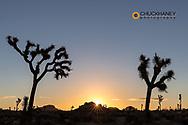 Joshua Trees in sunset light in Joshua Tree National Park, California, USA