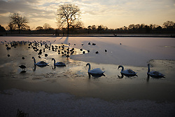 © Licensed to London News Pictures. 11/02/2021. London, UK. Swans navigate the pond ice at a freezing Bushy park in south west London. Overnight temperatures reached -5C in parts of the south east. Photo credit: Peter Macdiarmid/LNP