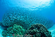 school of akule or bigeye scad, Selar crumenopthalmus, Keauhou Bay, Kona, Hawaii, USA ( Big Island ) Hawaiian Islands ( Central Pacific Ocean )