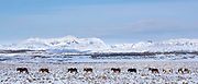 Herd of Icelandic ponies in glacial landscape of South Iceland walking in a line up following the leader