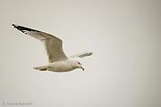 Ringed-billed gull flies along the shore of Lake Washington