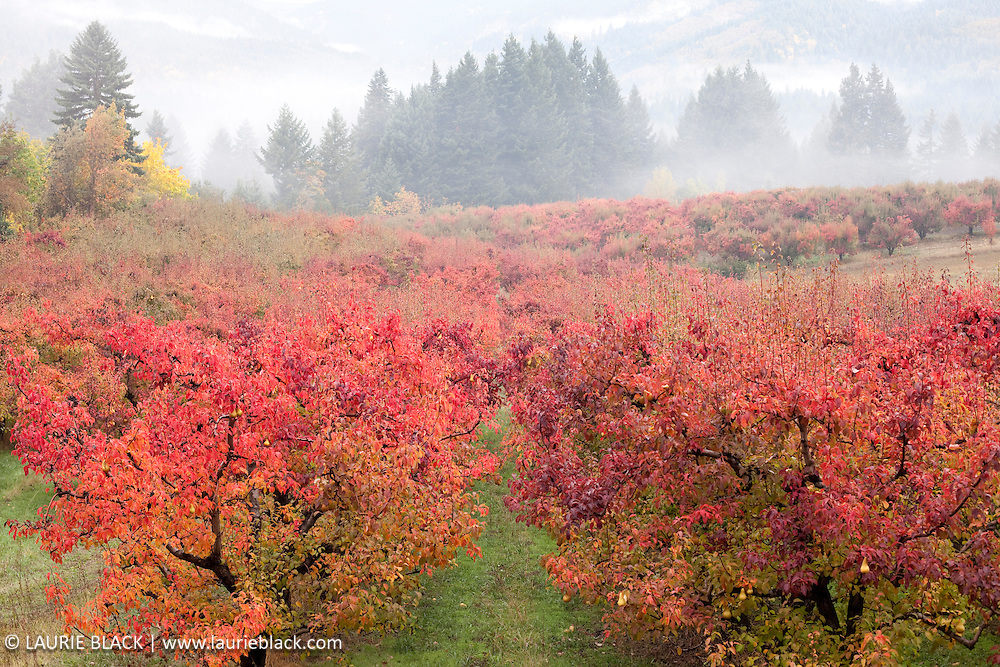 Orchard with fall color.