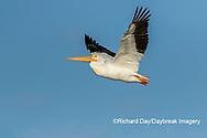 00671-01111 American White Pelican (Pelecanus erythrorhynchos) in flight Clinton Co.  IL