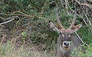 Kenya, Samburu, Waterbuck (Kobus ellipsiprymnus) portrait closeup