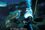 helmet diver and hawksbill sea turtle (c)<br /> Sea Life Park, Oahu,<br /> Hawaii, USA ( Pacific )