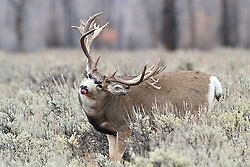 """Trophy Nontypical Mule Deer Buck safe in Grand Teton National Park sticks his tongue out as if to say """"I know where the park boundary is""""! There I go anthropomorphizing again.<br /> <br /> The story of this huge buck<br /> A trophy buck ~ through the years.<br /> http://daryl-hunter.net/a-trophy-buck-through-the-years"""