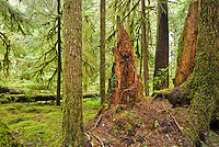 Decaying tree in Ancient Groves, Olympic National Park, Washington.