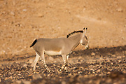 African wild ass (Equus africanus), Photographed in the Arava desert, israel at sunset. This is part of a breeding nucleus to be reintroduced back to nature