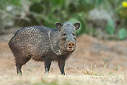 Javelina in Texas Javelina or Collared Peccary in South Texas
