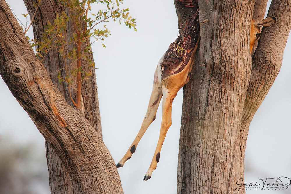 An impala leopard kill in a tree, Moremi Game Reserve, Botswana, Africa
