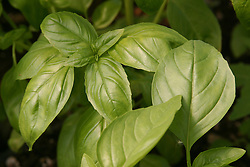 North America, United States, Washington, Seattle, basil leaves in garden