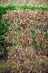 Hedge of Carpinus betulus - Hornbeam - in winter