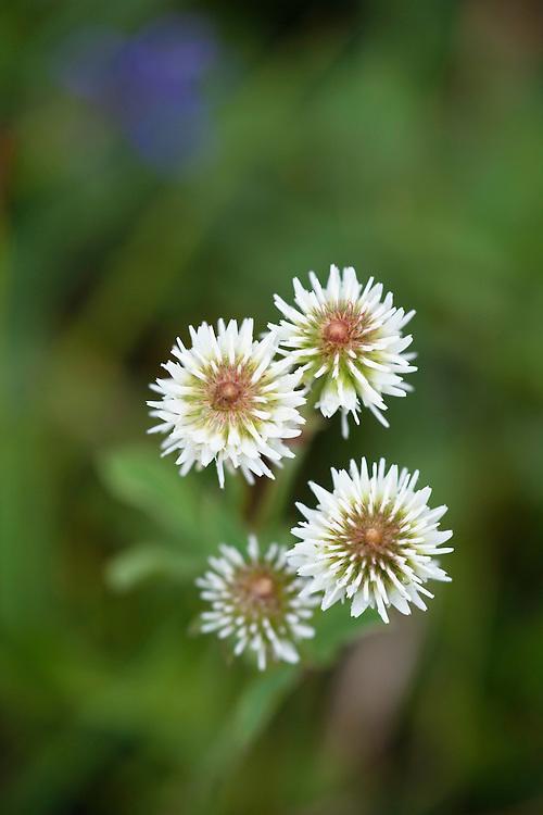Trifolium montanum, Poloniny National park, Western Carpathians, Slovakia, Europe
