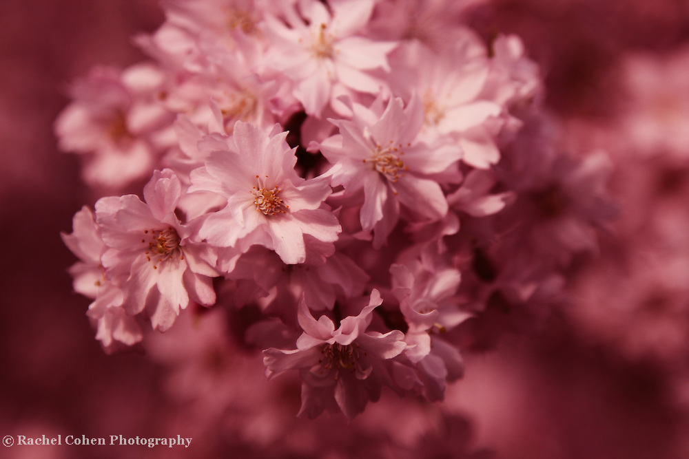 """""""Truly Delightful""""<br /> <br /> Pink blossoms in springtime!!<br /> <br /> Flowers by Rachel Cohen"""