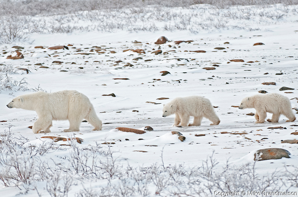 Polar bear sow and two cubs Ursus maritimus on frozen tundra<br /> Churchill<br /> Manitoba<br /> Canada