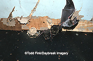 01850-001.02 (TF) Rafinesque's big- eared bats (Plecotus rafinesquii) Johnson Co.   IL