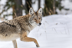 Coyote on the hunt. This guy is sporting his brand new winter coat in the early Yellowstone Winter.