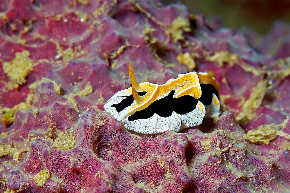 An ornate species found in Papua New Guinea, this nudibranch grows to a length of 4 cm and feeds upon sponges