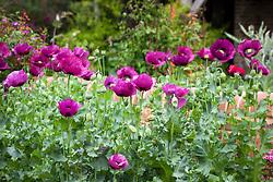 Papaver somniferum 'Dark Plum' - Opium poppy