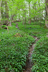 Wild garlic foliage growing by a stream in a woodland in Gloucestershire. Ramsons. Allium ursinum