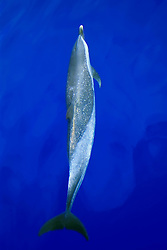 pantropical spotted dolphin, bow-riding, Stenella attenuata, off Kona Coast, Big Island, Hawaii, Pacific Ocean