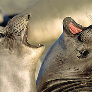 Northern Elephant Seal, (Mirounga angustirostris)  Females vocalizing with each other. California.