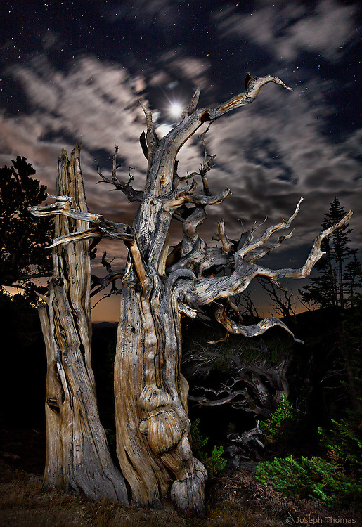 Ancient remnants of a bristlecone pine tree under a full moon.