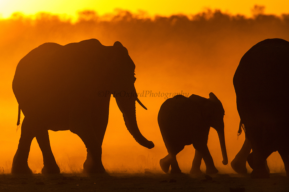 Elephant herd (Loxodonta africana) approaching a waterhole to drink at sunset. These large herds are made up of a matriach and all of her female relations and their offspring. At the end of the dry season (around late October) there is very little water near available food so they have large distances to travel from the water in order to find enough food. <br /> Makalolo Plains<br /> Hwange National Park<br /> ZIMBABWE<br /> Southern Africa