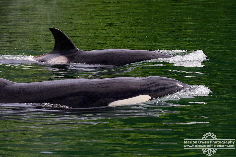 Killer whales or orca whale or orca swim through the channel in Kodiak, Alaska