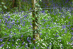 Bluebells and Stitchwort growing by a barbed wire fence near Exbury. Hyacinthoides non-scriptus, Stellaria holostea