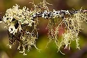 Iceland Lichen on left, Rag Lichen on right, and Beard Lichen hanging down