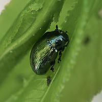 Gullbasse. Cetoniinae.