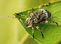 Leptostylus transversus,  Flat faced longhorn beetle. - found on a live oak.  Photographed in Lady Lake, FL USA.