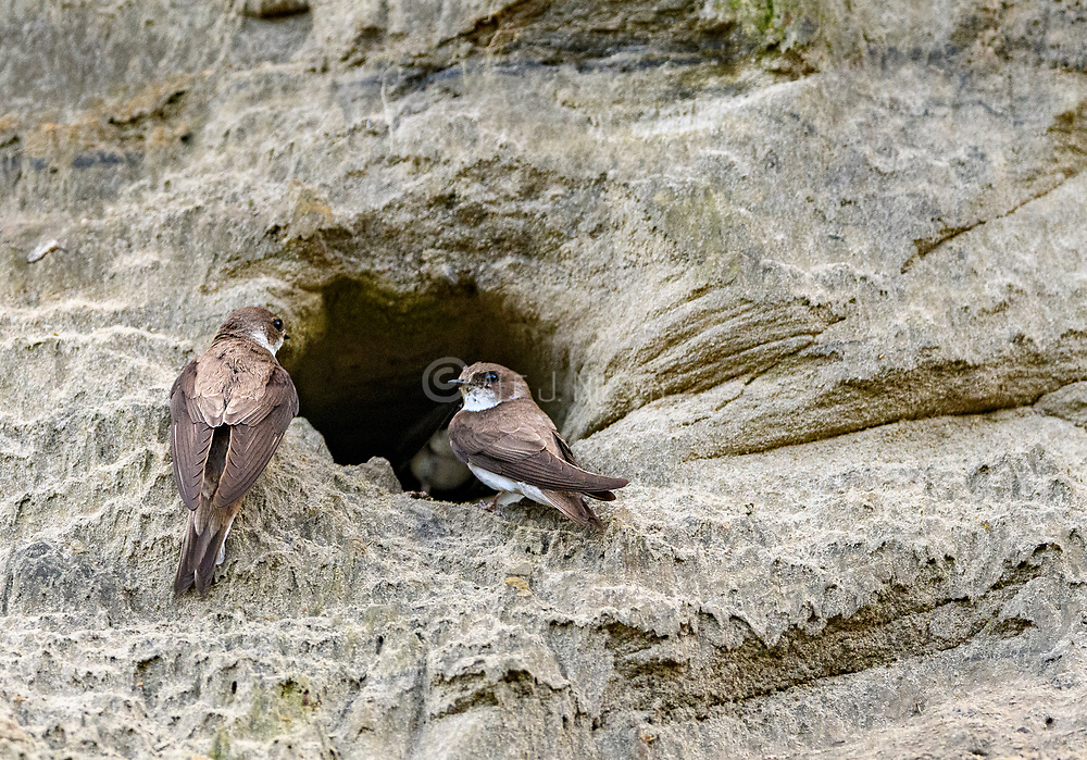 Sand martins (Riparia riparia) at their nest burrow. Photo from south-western Norway in August.