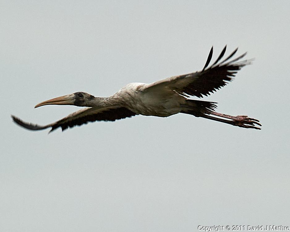 Wood Stork (Mycteria americana). Black Point Wildlife Drive. Merritt Island National Wildlife Refuge. Image taken with a Nikon D3s camera and 600 mm f/4 VR lens.