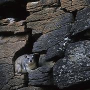 Rock Hyrax (Heterohyrax brucei) living among rocks in Masai Mara National Reserve. Kenya, Africa
