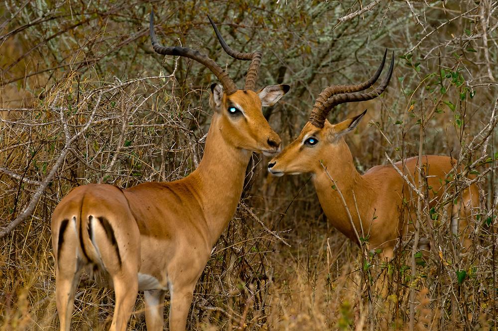 Impala sparring, Kruger National Park, South Africa