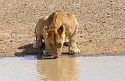 Lioness drinking,Serengeti, East Africa
