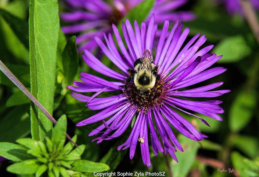 The Bumble Bee and the Aster