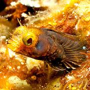 Spinyhead Blenny inhabit dead and living coral in the Bahamas and Caribbean; reside in worm tubes, perch with head extended; picture taken Tobago.