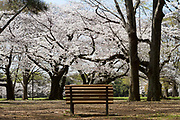 A bench remains unused in the central area as part of the measures to avoid people gathering for Hanami parties under the cherry blossoms in Yoyogi Park, Shibuya, Tokyo, Japan. Friday March 26th 2021, Though Tokyo lifted its Coronavirus State of  Emergency at midnight on March 21st the annual Hanami , cherry blossom parties and other gatherings of large number of people are still limited and discouraged.