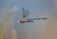 Migrant Hawker Dragonfly - Aeshna mixta