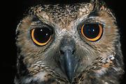 Great Horned Owl<br />Bubo virginianus<br />GUYANA, South America<br />RANGE; Guianas, Colombia, Brazil, Bolivia, Argentina, Ecuador