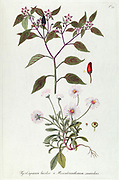 Hand painted botanical study of a Mesembryanthemum suaveolens flower anatomy from Fragmenta Botanica by Nikolaus Joseph Freiherr von Jacquin or Baron Nikolaus von Jacquin (printed in Vienna in 1809)