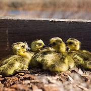 Newly-hatched Canada goose chicks in a nest boxk. Deer Flat National Wildlife Refuge goose nest survey, Snake River
