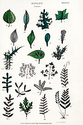 """Hand drawn Leaves part of Botanical images depicting the Linnean Classification system [Carl Linnaeus (23 May 1707 – 10 January 1778), also known after his ennoblement as Carl von Linné was a Swedish botanist, zoologist, taxonomist, and physician who formalised binomial nomenclature, the modern system of naming organisms. He is known as the """"father of modern taxonomy"""". Many of his writings were in Latin, and his name is rendered in Latin as Carolus Linnæus (after 1761 Carolus a Linné). Published by T. Tegg in London in 1826"""