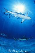 blacktip sharks, Carcharhinus limbatus, and Caribbean reef sharks, Carcharhinus perezi, Walker's Cay, Abacos, Bahamas ( Western Atlantic Ocean )